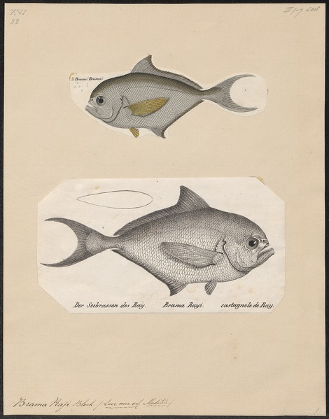 File:Brama raii - 1700-1880 - Print - Iconographia Zoologica - Special Collections University of Amsterdam - UBA01 IZ13500326.tif