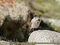 Brandt's Mountain Finch (Leucosticte brandti) (43866531551).jpg