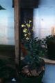 Brassica oleracea WPC.jpg
