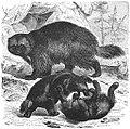 Brehms Het Leven der Dieren Zoogdieren Orde 4 Veelvraat (Gulo borealis).jpg
