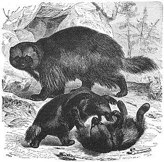 Wolverine - Image: Brehms Het Leven der Dieren Zoogdieren Orde 4 Veelvraat (Gulo borealis)
