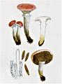 Bresadola - Gomphidius roseus.png