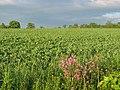 Broad bean field, Longniddry - geograph.org.uk - 16907.jpg