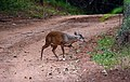 Brocket deer Mazama gouazoubira Santa fe do Sul 2.jpg