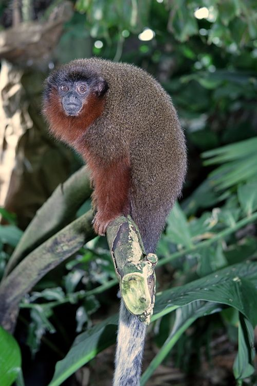 500px brown titi monkey (callicebus brunneus) 4