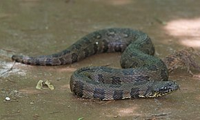 Description de l'image Brown Water Snake.jpg.
