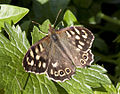 Brown butterfly 2 (3455764190).jpg