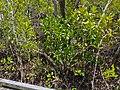Bruguiera gymnorrhiza from Tabilban-dhagun boardwalk Nudgee Creek Nudgee Beach Bramble Bay Queensland P1280496.jpg