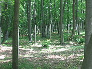 Buchenwaldrus