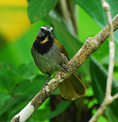 Buff-throated Saltator.jpg