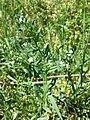 Buglossoides incrassata sl7.jpg