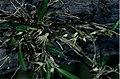 Bulbophyllum grandimesense.jpg