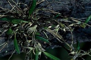 <i>Bulbophyllum grandimesense</i> species of plant