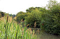 Bullrushes by the canal - geograph.org.uk - 1403452.jpg