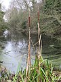 Bulrushes on the edge - geograph.org.uk - 1640856.jpg