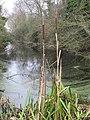 Bulrushes on the edge - geograph.org.uk - 1640856.jpg