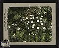 Bunchberry (Cornus canadensis). 12b.jpg
