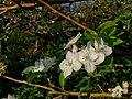 Bunga Apel di Pagi.jpg