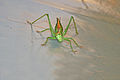 Bush cricket 09 2008.jpg