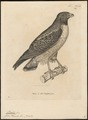 Buteo pterocles - 1700-1880 - Print - Iconographia Zoologica - Special Collections University of Amsterdam - UBA01 IZ18200053.tif