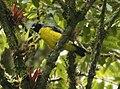 Buthraupis montana -NW Ecuador-8.jpg