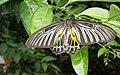 Butterfly - panoramio (11).jpg
