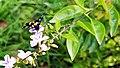 Butterfly in National Botanical Garden, Bangladesh Pic 3.jpg