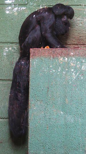 Black bearded saki - Image: C. satanas