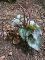C.persicum-fruct-8.jpg