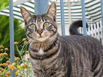 "Cat coat genetics - A mackerel tabby with the classic ""M"" on forehead."