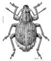 COLE Curculionidae Phlyctinus callosus.png