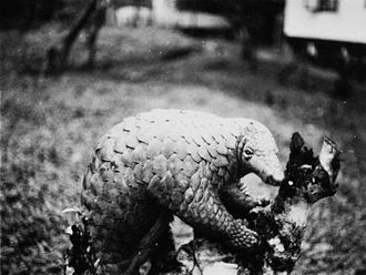 Sunda pangolin - Photo from 1932