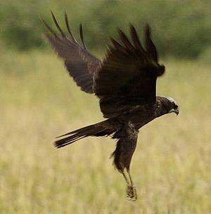 Western Marsh Harrier, female or juvenile.