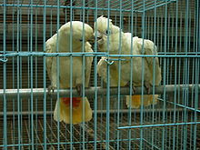 Two mainly white-plumaged cockatoos facing each other in a cage. Some feathers at the base of the underside of their tails are red