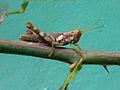 Caelifera genus Grasshopper at Madhurawada 01.jpg