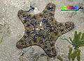 Cake sea star (Anthenea aspera) 2.jpg