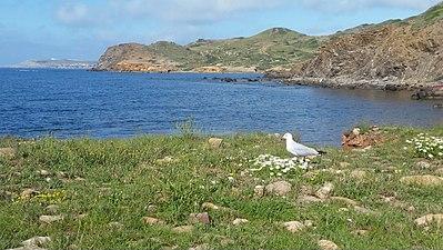 Cala Morts,(Cala Muertos) Es Mercadal.Menorca.Gaviota.jpg