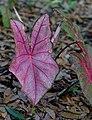 Caladium bicolor (9059586490).jpg