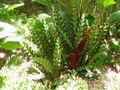 Calathea lancifolia.jpeg