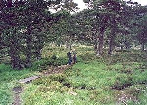 Caledonian Forest - Caledonian pinewoods near Loch an Eilein