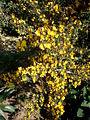 Calicotome villosa 2c.JPG