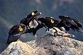 California-Condor.jpg