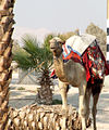 Camel parked at the Gas Station (342769817).jpg