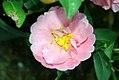 Camellia oleifera Pink Icicle 0zz.jpg