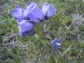 Campanula alpina Rax 2.jpg