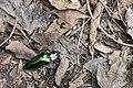 Campsosternus mirabilis (35634726086).jpg