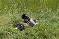 Canard colvert (Anas platyrhynchos) couple -2.jpg