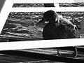 Canard sur une passerelle, à Asnières.JPG