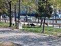 Cani randagi in boulevardul unirii - panoramio.jpg