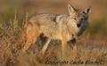 Canis anthus - Cécile Bloch 3.png